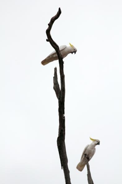 Cockatoos talking