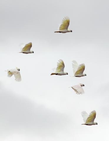 Cockys in flight