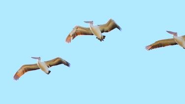 Three Pelicans Flying