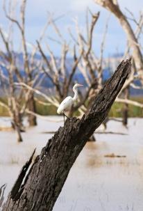 White Heron on Stump