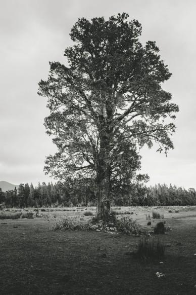 a-solo-tree-at-franz-joseph