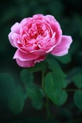 Benalla Pink rose 2