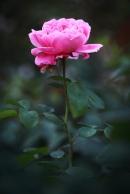 Benalla Pink Rose