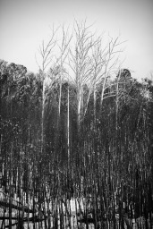 B-W Vertical Trees