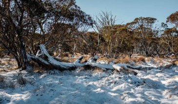 Melting snow on Gums