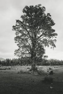 A solo Tree at Franz Joseph